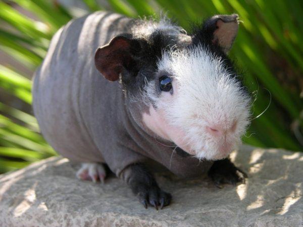 Лысая морская свинка Скинни