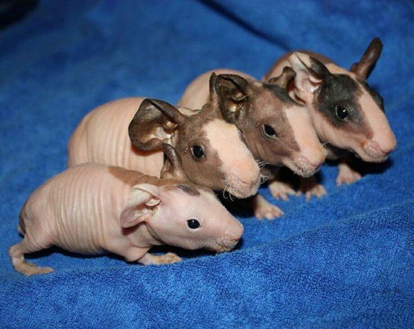 Малыши морской свинки породы Болдуин