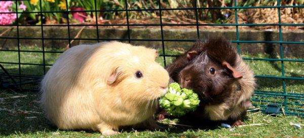 Две морские свинки едят брокколи