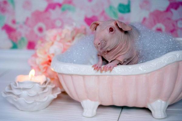 Лысая морская свинка принимает ванную