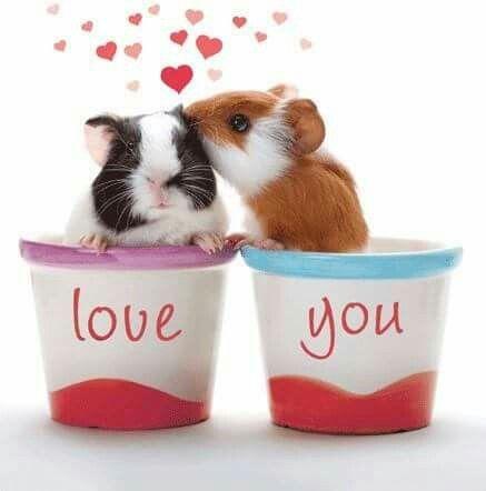 Милое фото двух влюбленных морских свинок