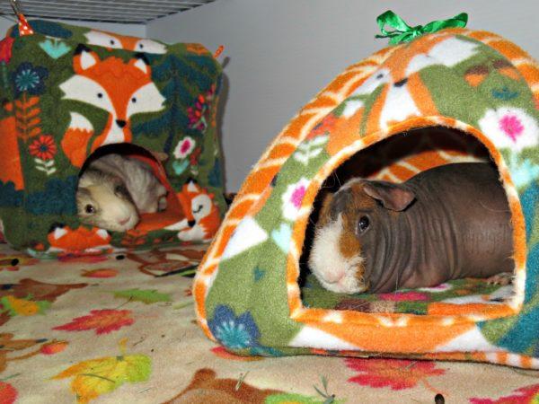 Лысая морская свинка лежит в домике