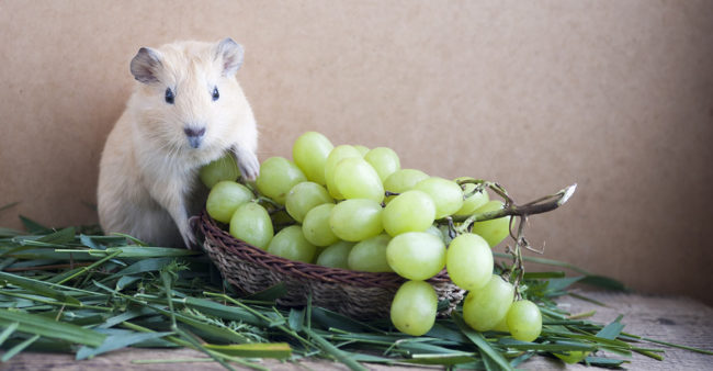 Морская свинка и виноград