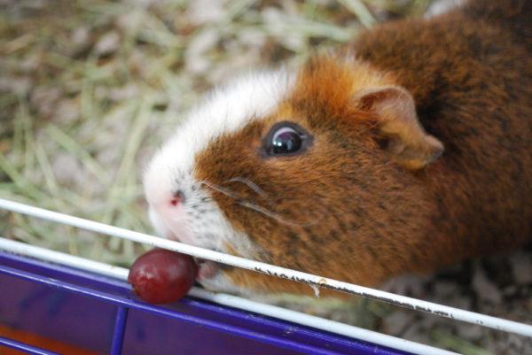 Морская свинка ест ягодку винограда