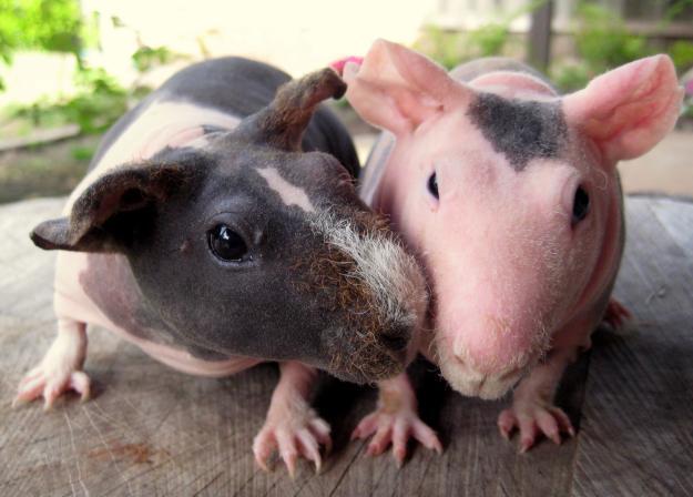 Две лысые морские свинки