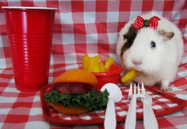 Морская свинка ест картошку фри и гамбургер