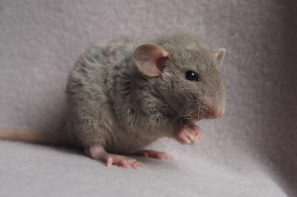 Крыса породы Дамбо рекс