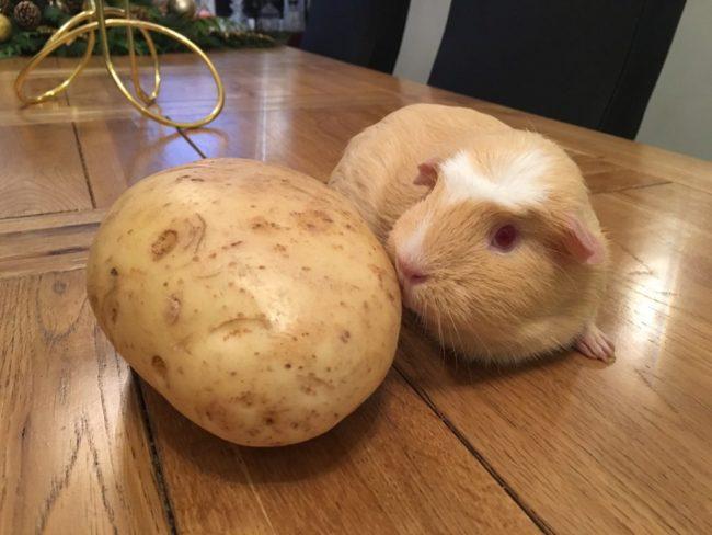 Морская свинка и картофель