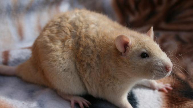 Крыса породы РЕКС