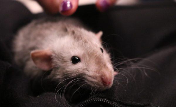 Крыса рекс на плече у хозяйки