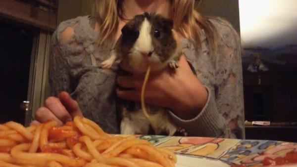 Морская свинка и спагетти