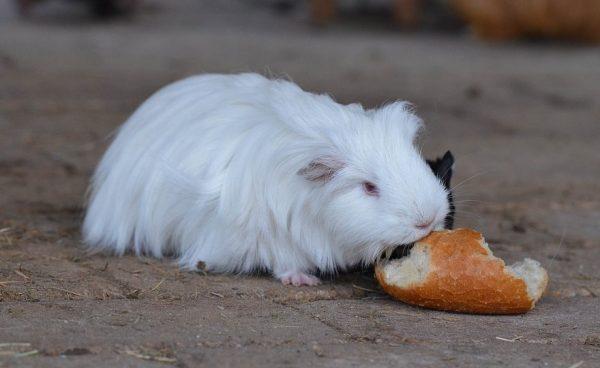 Морская свинка ест батон