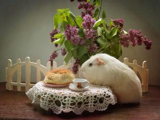 Морская свинка пьет чай с булочкой