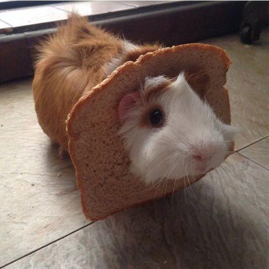 Морская свинка застряла в хлебе