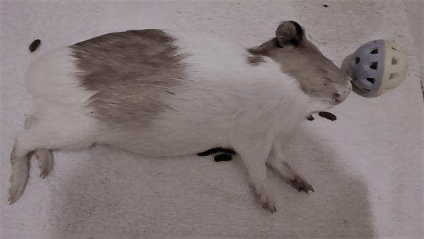 Мертвая морская свинка