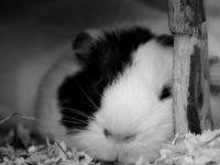 Черно-белое фото морской свинки