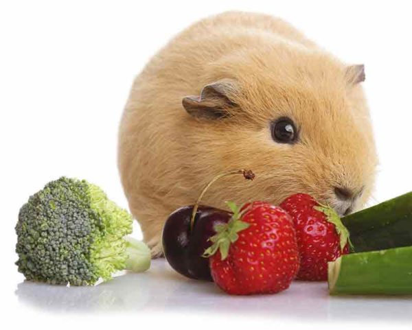 Морская свинка ест ягоды и овощи