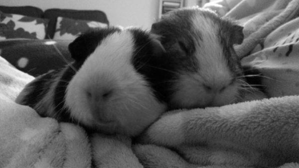Черно-белое фото двух морских свинок