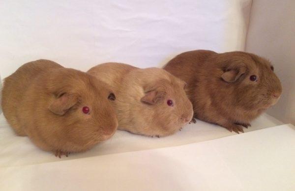 Три морские свинки селф разных окрасов