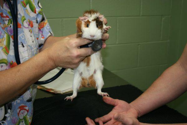 Осмотр морской свинки у ветеринара