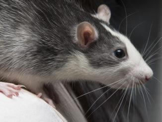 Крыса породы Хаски
