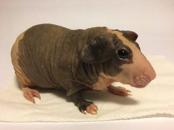 Лысая морская свинка похожа на бегемотика