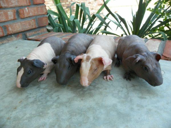 Лысые морские свинки породы Болдуин
