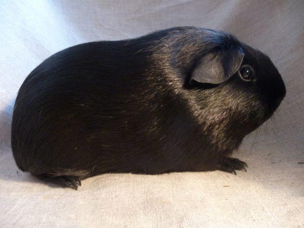 Морская свинка породы Селф окрас черный