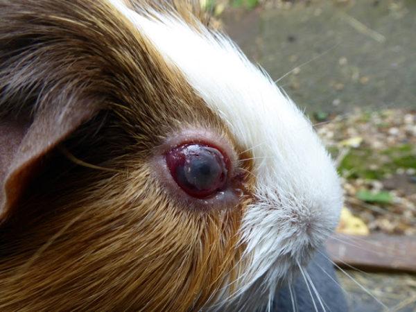 Глаукома у морской свинки