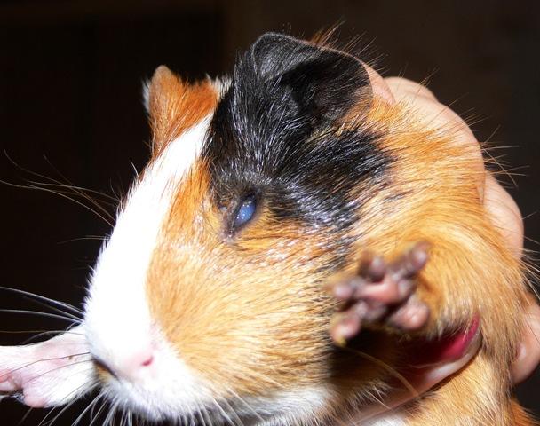 Кератит у морской свинки
