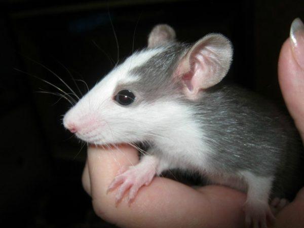 Крыса Хаски окрас черный