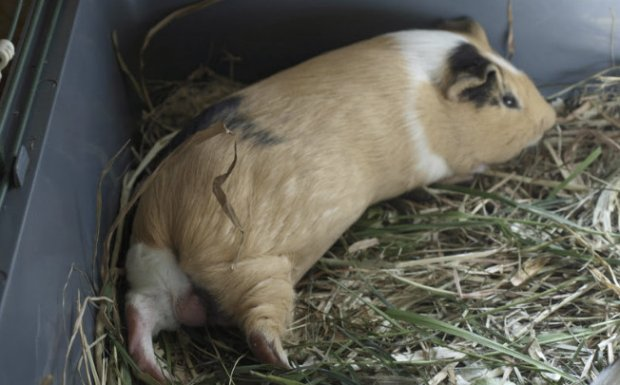 Морская свинка лежит на сене