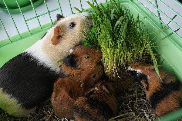 Свинки едят траву