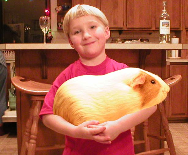 Морская свинка на руках