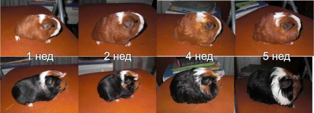 Свинки разного возраста