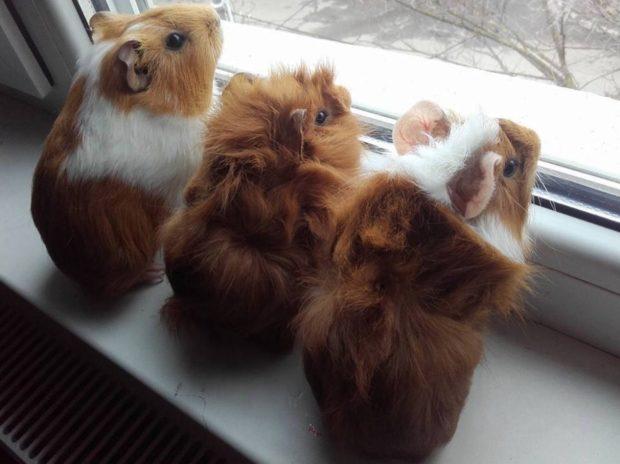 Морские свинки возле окна