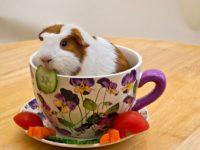Морская свинка сидит в чашке