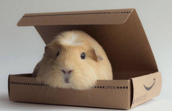 Морская свинка в коробке