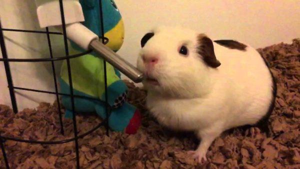 Морская свинка пьет из поилки