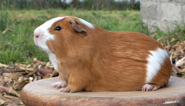 Перуанская свинка куй