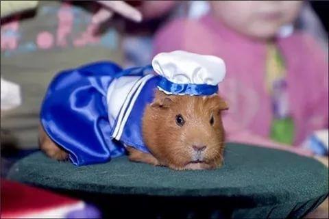 Морская свинка в одежде - фото