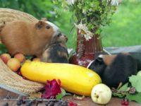 Морские свинки и кабачок