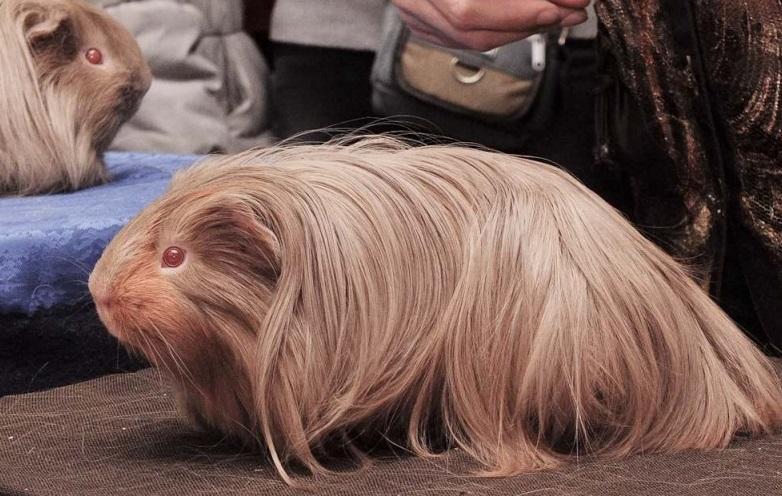 Длинношерстная морская свинка