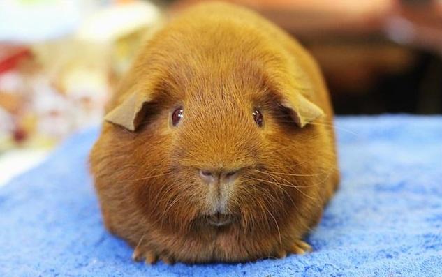 Здоровая морская свинка