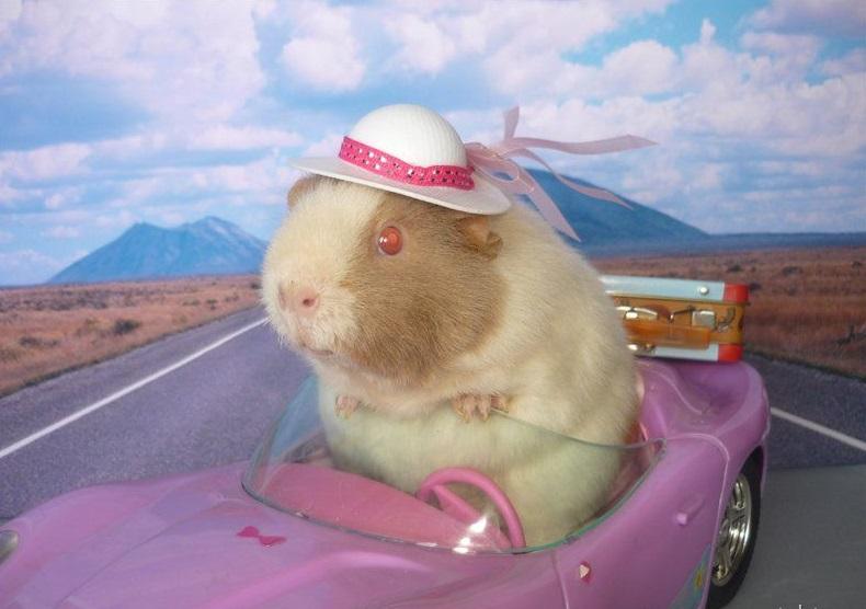 Морская свинка в автомобиле