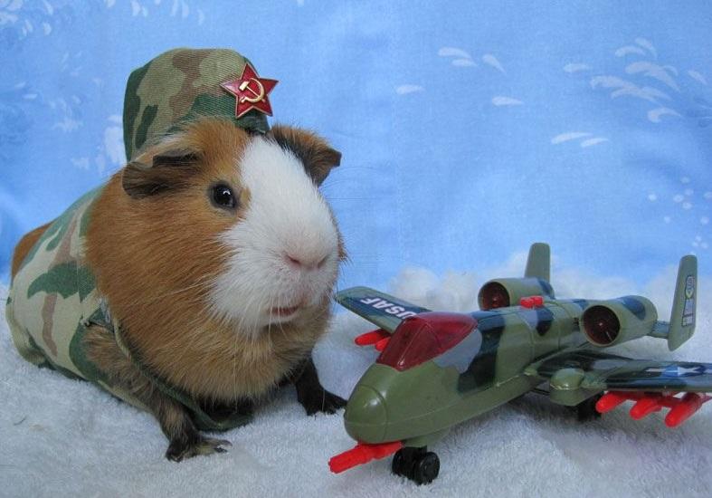 Морская свинка и самолет
