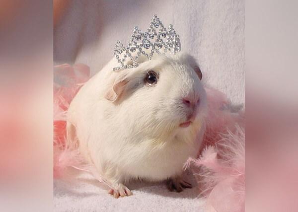 Морская свинка в короне