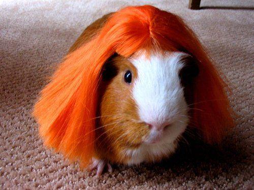 Морская свинка в парике