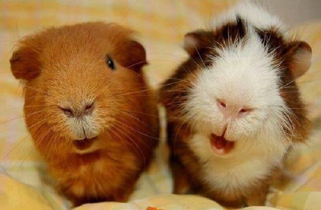 Две морские свинки