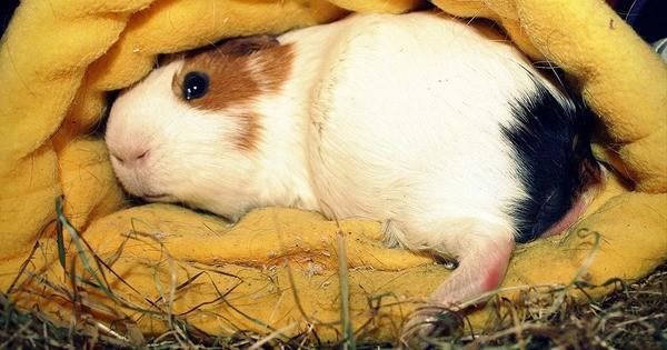 Морская свинка лежит на лежанке
